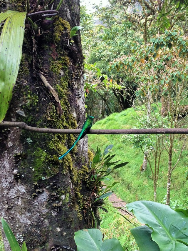 colibríes en el Parque del Cocora, Colombia,