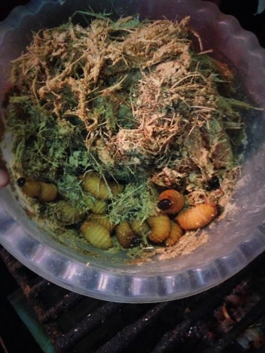 Chontacuro, gusanos de palma. Puerto Misahualli