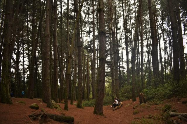 Qué hacer en Mérida-Venezuela- bosque de pinos